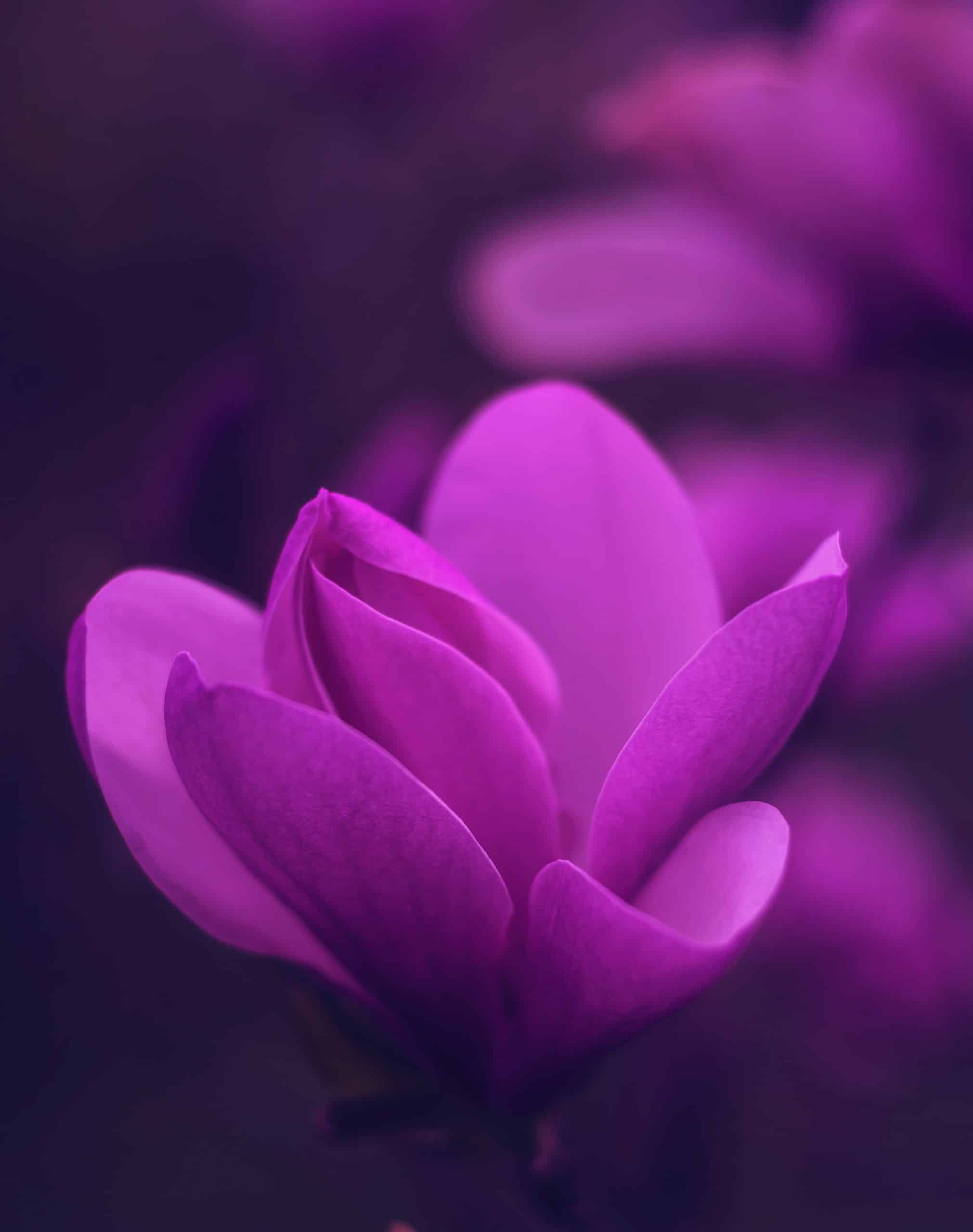 purple-petaled-flower-2526097 (1)